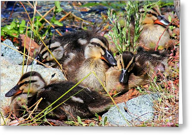 Duck Dynasty Ducklings Greeting Card by Tap On Photo