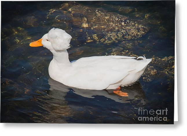 White Crested Duck Greeting Card by Ernest Puglisi