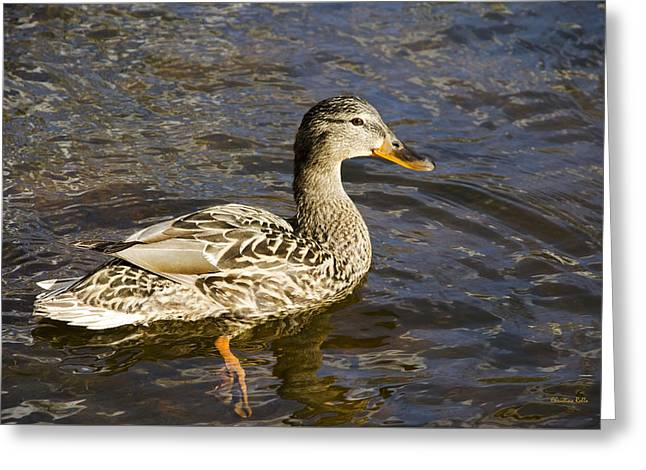Mallard Duck Greeting Card by Christina Rollo