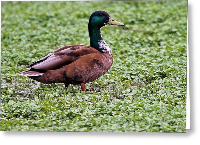Duck On Watercress Greeting Card by David Warner
