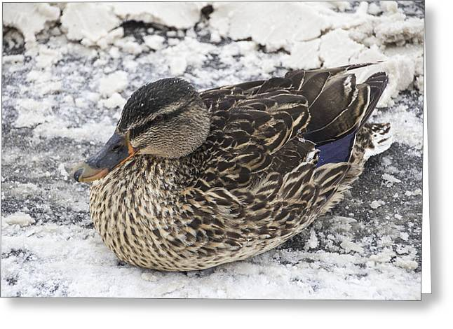 Duck Setting On A Winter Road Greeting Card
