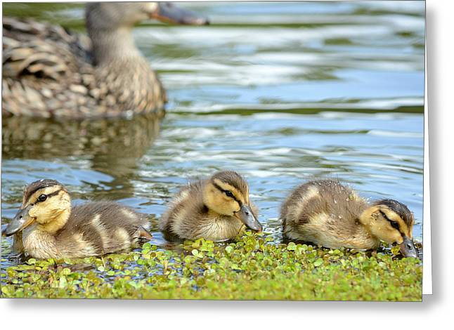 Duck Soup 4 Greeting Card