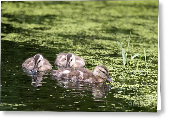 Duckies Three Greeting Card
