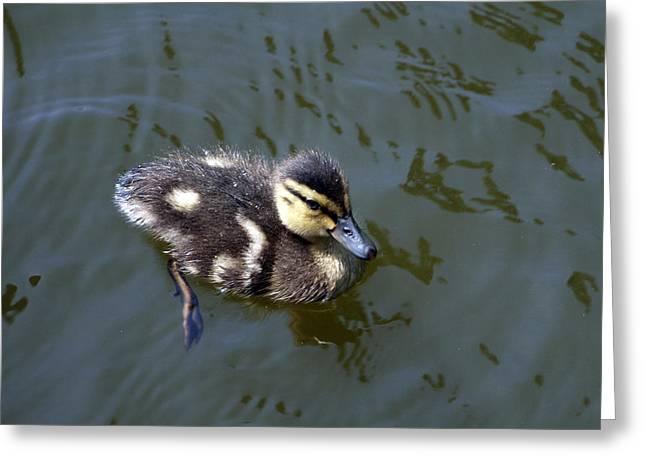 Duckling Exploration Greeting Card
