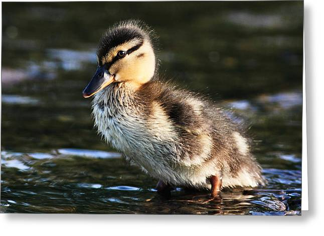 Duckling Greeting Card by Grant Glendinning