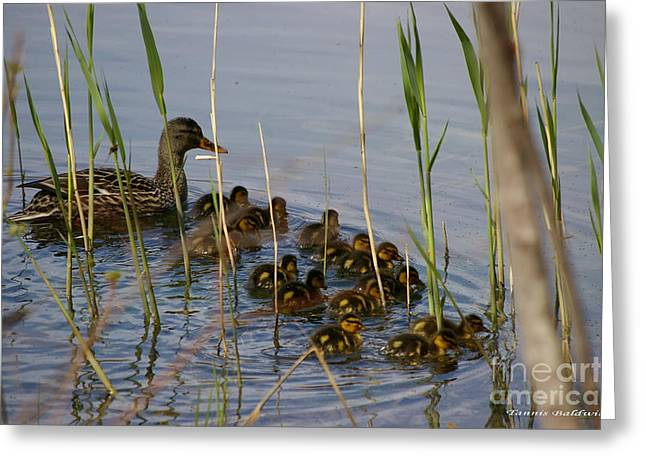 Ducklings And Mom Greeting Card