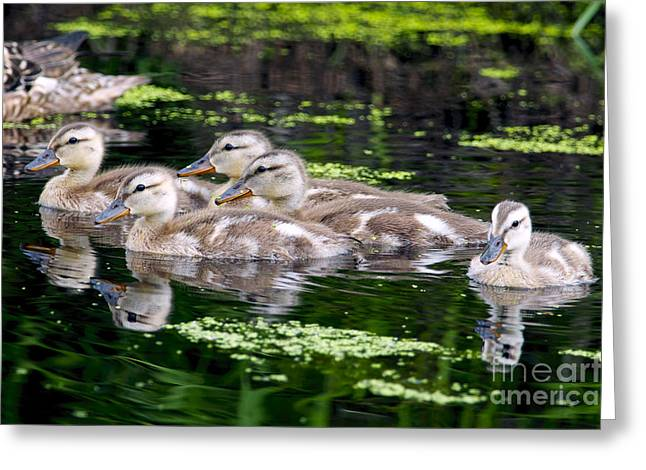 Ducklings Five Greeting Card by Sharon Talson
