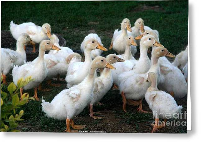 Ducklings In Clay Center Kansas Greeting Card by PainterArtist FIN