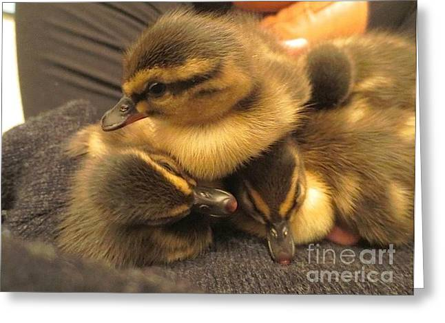 Ducklings  Greeting Card
