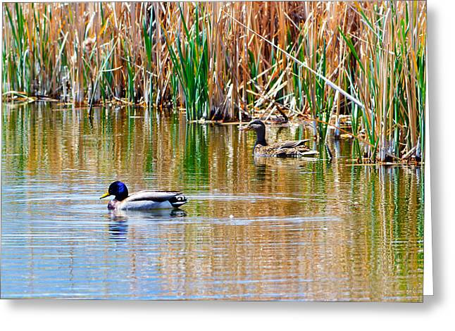 Ducks In A Marsh Greeting Card by Brent Dolliver