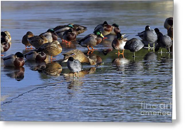 Ducks On Ice Greeting Card by Sharon Talson