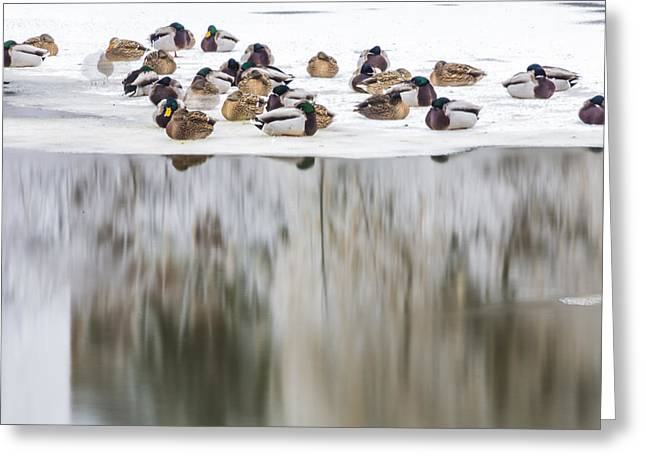 Ducks On The Red Cedar River  Greeting Card by John McGraw