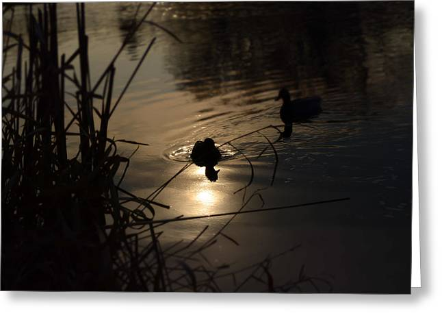 Ducks On The River At Dusk Greeting Card