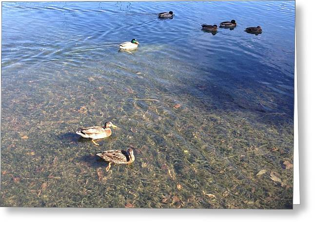 Ducks Greeting Card by Ron Torborg
