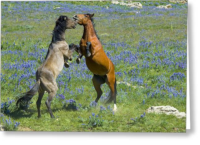 Dueling Mustangs Greeting Card