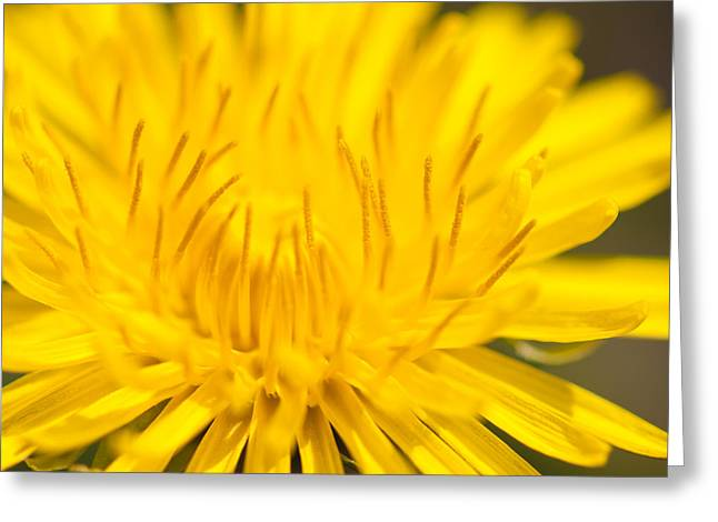 Dulcet Dandelion Greeting Card