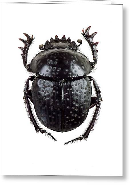 Dung Beetle Greeting Card