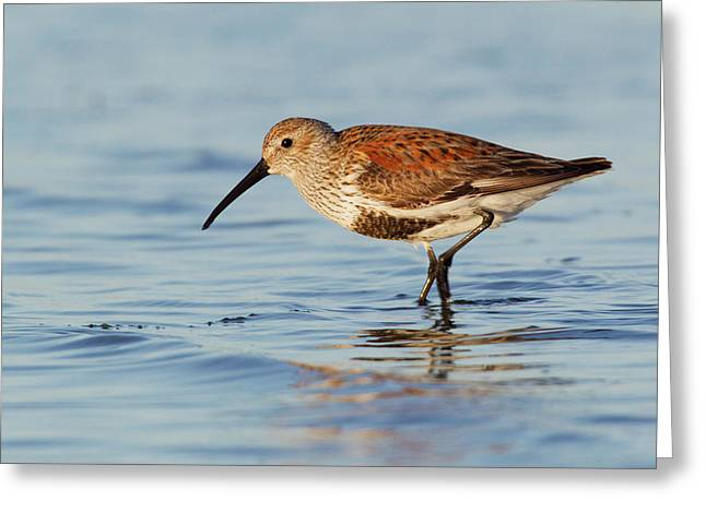 Dunlin Greeting Card by Ken Archer