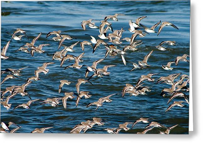 Dunlins In Flight Greeting Card