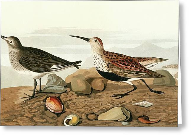 Dunlins Greeting Card by Natural History Museum, London/science Photo Library