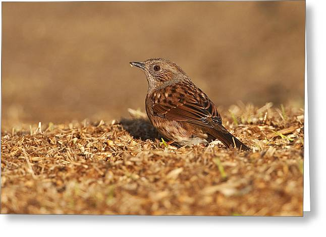 Dunnock Greeting Card by Paul Scoullar