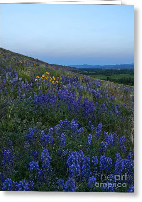 Dusk Over Lupine Greeting Card by Mike  Dawson