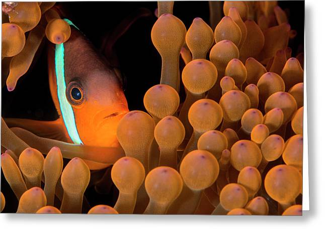 Dusky Anemonefish Greeting Card by Louise Murray