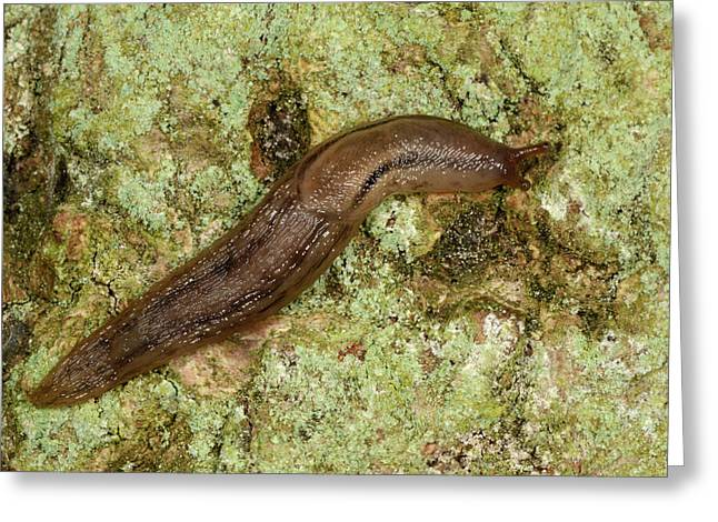 Dusky Arion Slug Greeting Card by Nigel Downer