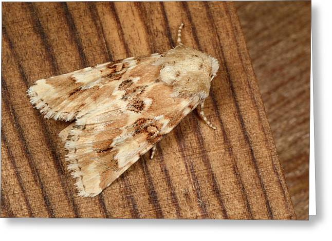 Dusky Sallow Moth Greeting Card by Nigel Downer