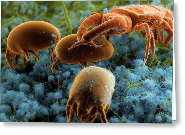 Dust Mites And Their Predator Greeting Card by Thierry Berrod, Mona Lisa Production/ Science Photo Library