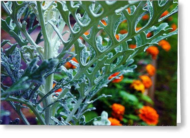 Dusty Miller And Dew Drops Greeting Card by Deborah Fay