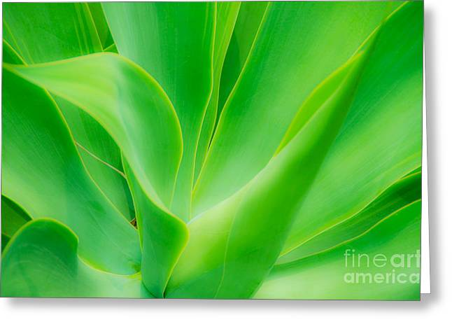 Dwarf Agave Greeting Card by David Lawson