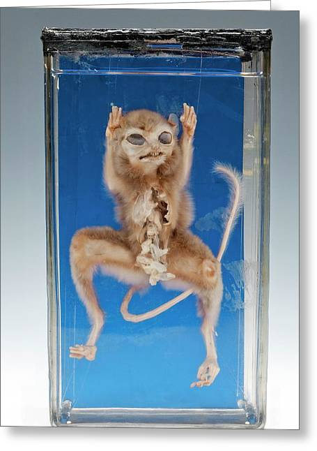 Dwarf Bushbaby Specimen Greeting Card by Ucl, Grant Museum Of Zoology