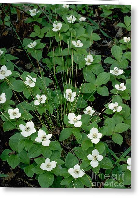 Greeting Card featuring the photograph Dwarf Dogwood by Doug Herr