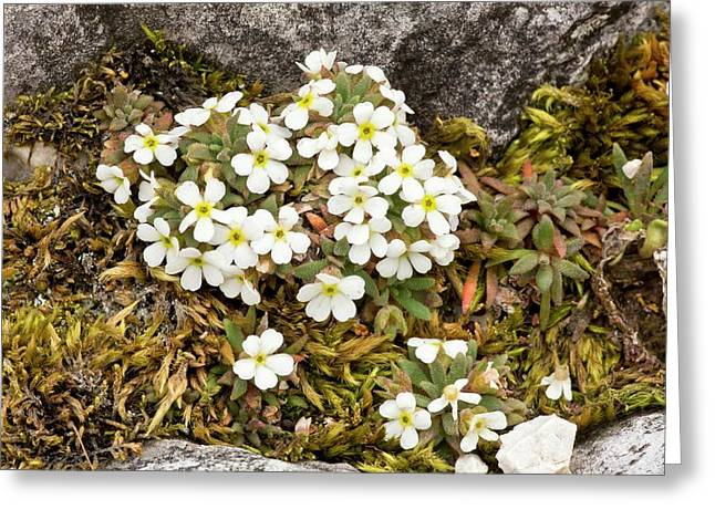 Dwarf Rock Jasmine (androsace Hausmannii) Greeting Card by Bob Gibbons