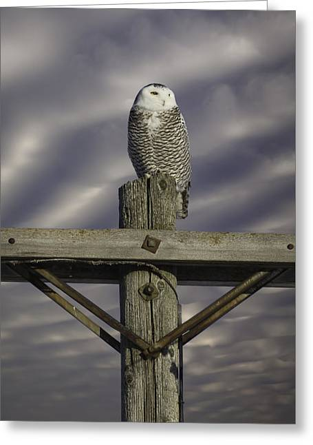 Dynamic Snowy Owl Greeting Card by Thomas Young