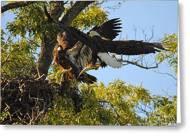 Eagle Bringing Fish Into The Nest Greeting Card by Jai Johnson