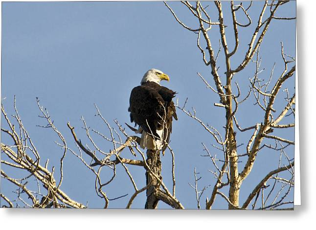 Greeting Card featuring the photograph Eagle by David Armstrong