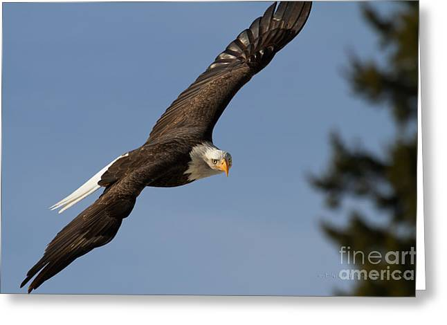 Eagle Eye Greeting Card by Beve Brown-Clark Photography