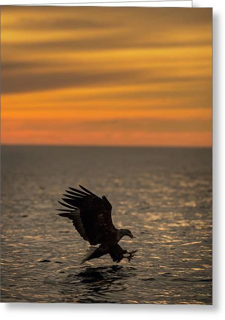 Eagle Hunting At Sunset Greeting Card