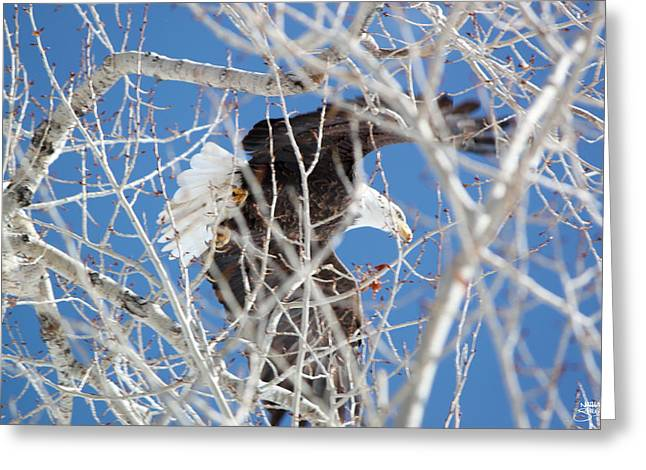 Eagle I Greeting Card by Nathan Shegrud
