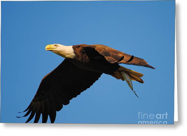 Eagle In Flight With Fish Greeting Card by Jai Johnson