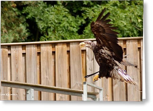 Eagle Landing Greeting Card by Stwayne Keubrick