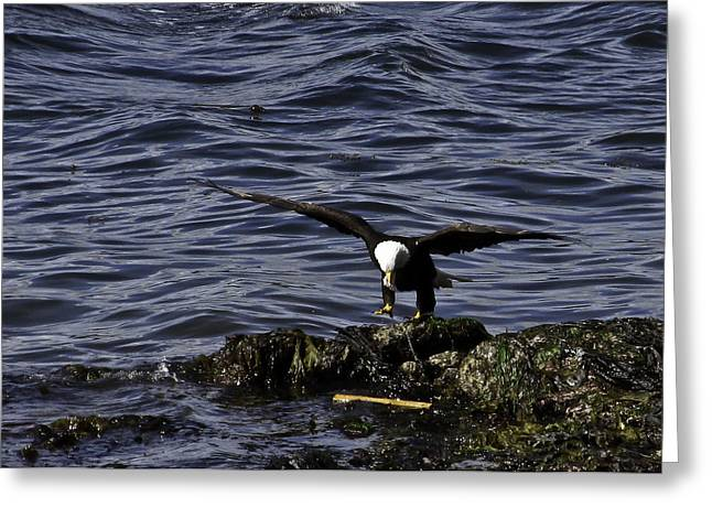 Greeting Card featuring the photograph Eagle Landing. by Timothy Latta