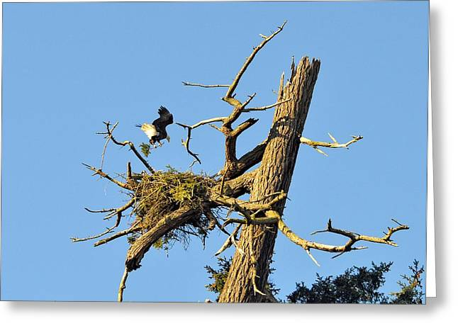 Eagle Making A Nest Greeting Card by Maralei Keith Nelson