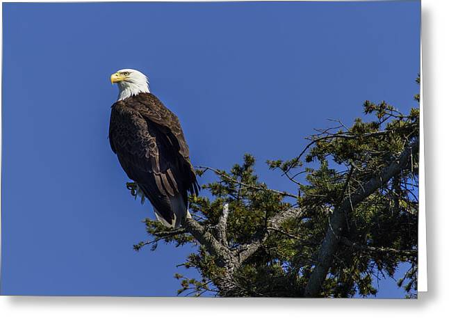 Eagle On Blue Greeting Card