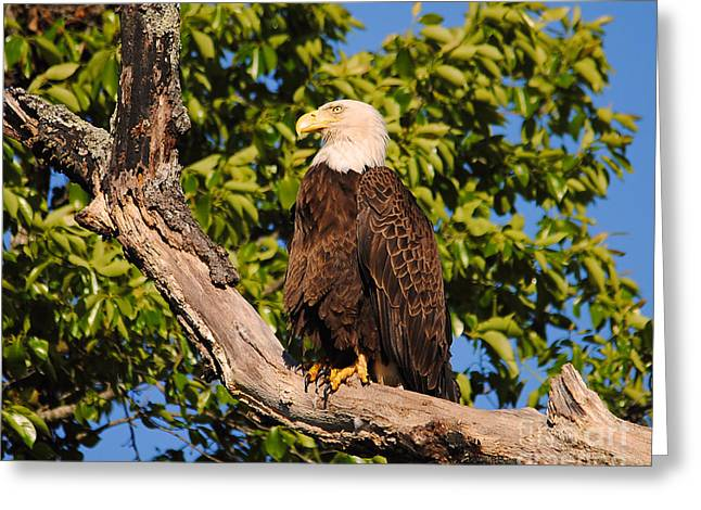 Eagle On Roosting Branch II Greeting Card by Jai Johnson
