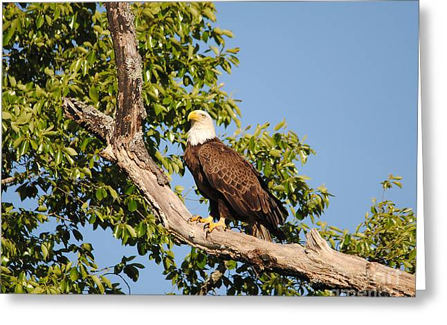 Eagle On Roosting Branch Greeting Card by Jai Johnson