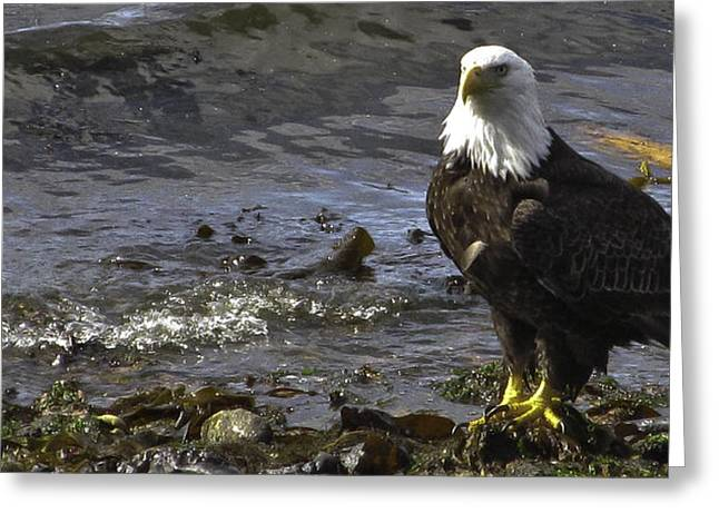 Greeting Card featuring the photograph Eagle On The Beach by Timothy Latta