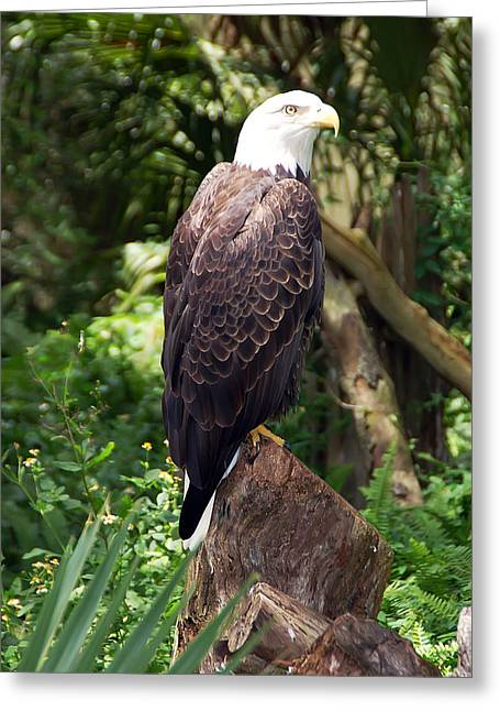 Eagle Portrait Greeting Card by Aimee L Maher Photography and Art Visit ALMGallerydotcom